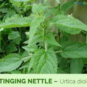 Use This Wonderful Herb To Ward Off Many Deadly Human Diseases