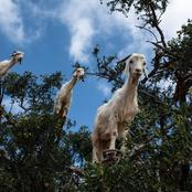 How To start A profitable Goat Farming Business