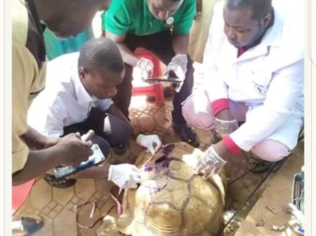 75-Year-Old Tortoise Involved In Accident In Kebbi, Doctors Try To Save The Life(See Photos)