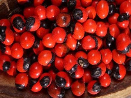 Warning: If You Ever Eat Abrus Precatorius (Rosary Pea), This Is What It Will Do To You