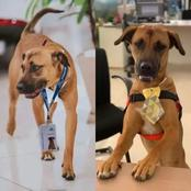 See Photos Of A Dog That Was Offered A Customer Care Job At A Car Dealership In Brazil.