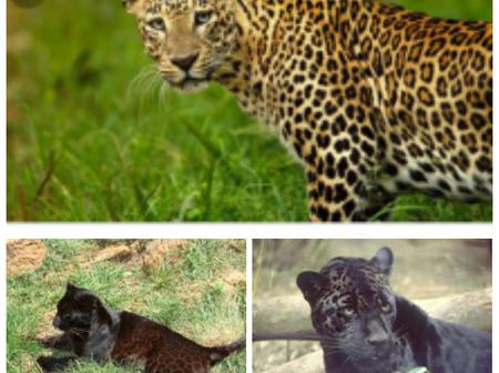 What is the difference between black panther and leopard
