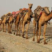 Kano Police React To Strange Travellers With Camels Who Appeared In The State.