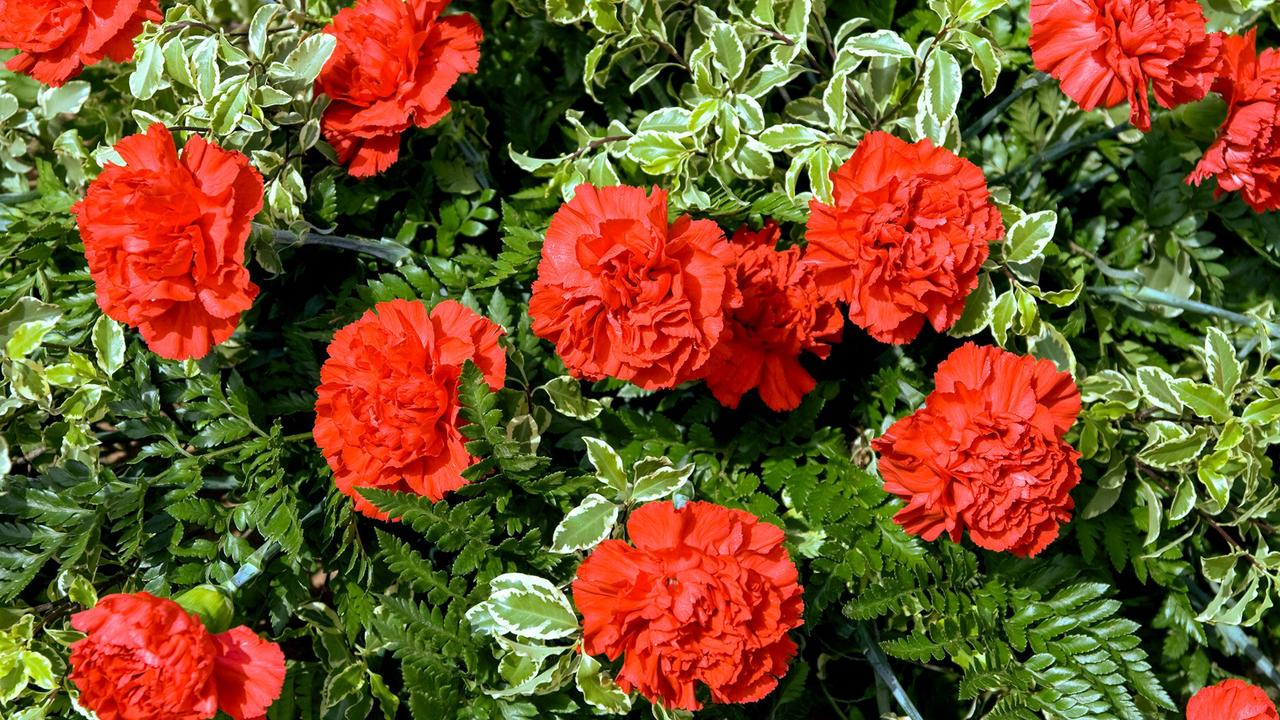 Everything You Need to Know About Carnations