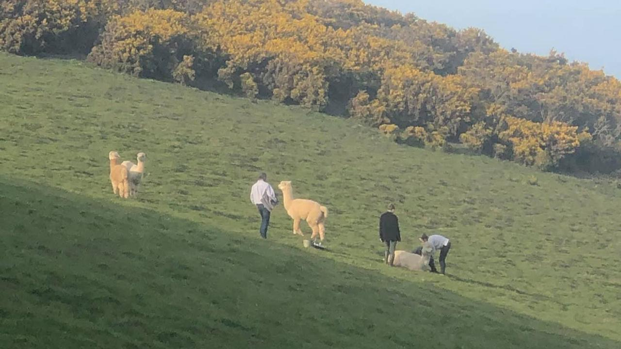 Alpaca Mauled By Dog In Its Field As Owner Flees