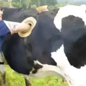 Voici pourquoi certaines vaches ont des trous sur le côté,(photos)