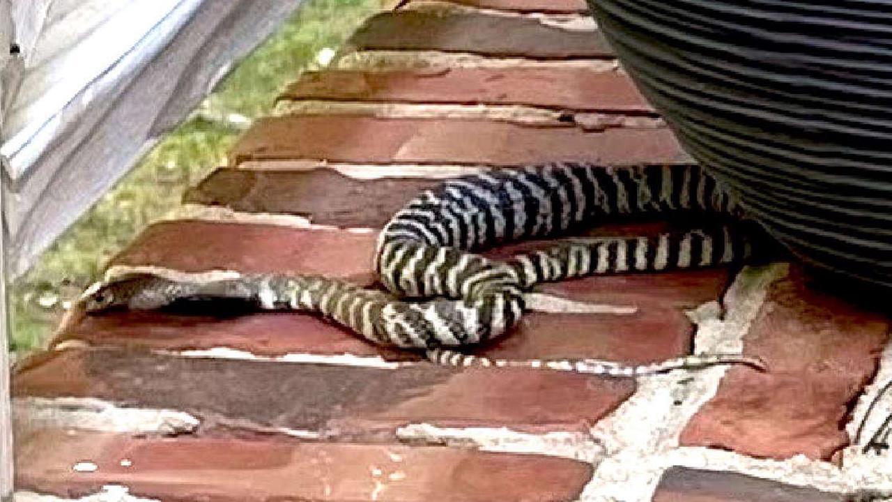 Owner of venomous pet zebra cobra that escaped NC home cited