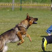 If A Dog Charges At You, Don't Run Away Try This Simple Trick And You Will Be Safe