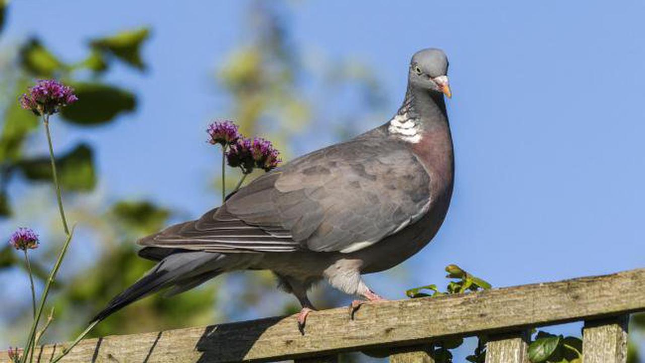 Letter: Why has there been a great pigeon invasion?