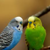 Animal Farming 101: Why budgies are bad pets?