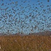 Millions of people in danger of hungers & famine as swarms of locust invade East African countries