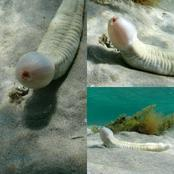 Bizarre phallic shaped creature found at bottom the ocean, but what the hell is it.