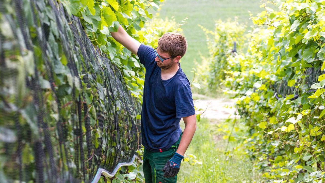 Weinbau in der Lausitz: Nach der Kohle kommt der Cabernet – Wein am alten Braunkohletagebau