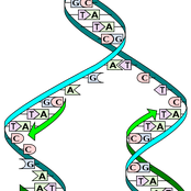 In molecular biology DNA replication is the biological process of producing two identical replicas