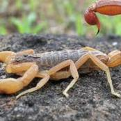Don't Panic When Scorpion Stings You, Checkout What To Do Instead