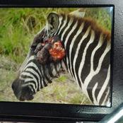 Kenyans React as the KWS Treats a Zebra for 'Rare' Cancer