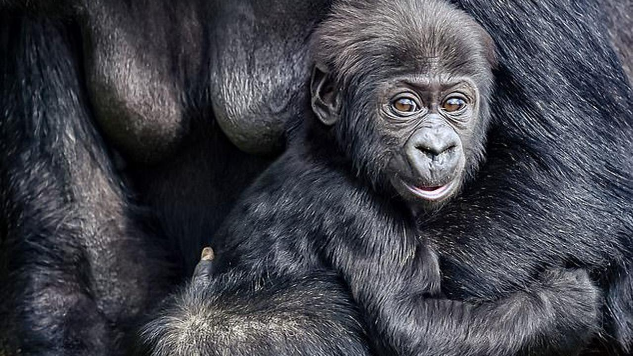 Cling Kong! Four-month-old baby gorilla holds tight to mum as he prepares to face the public for the first time when Bristol Zoo reopens next week