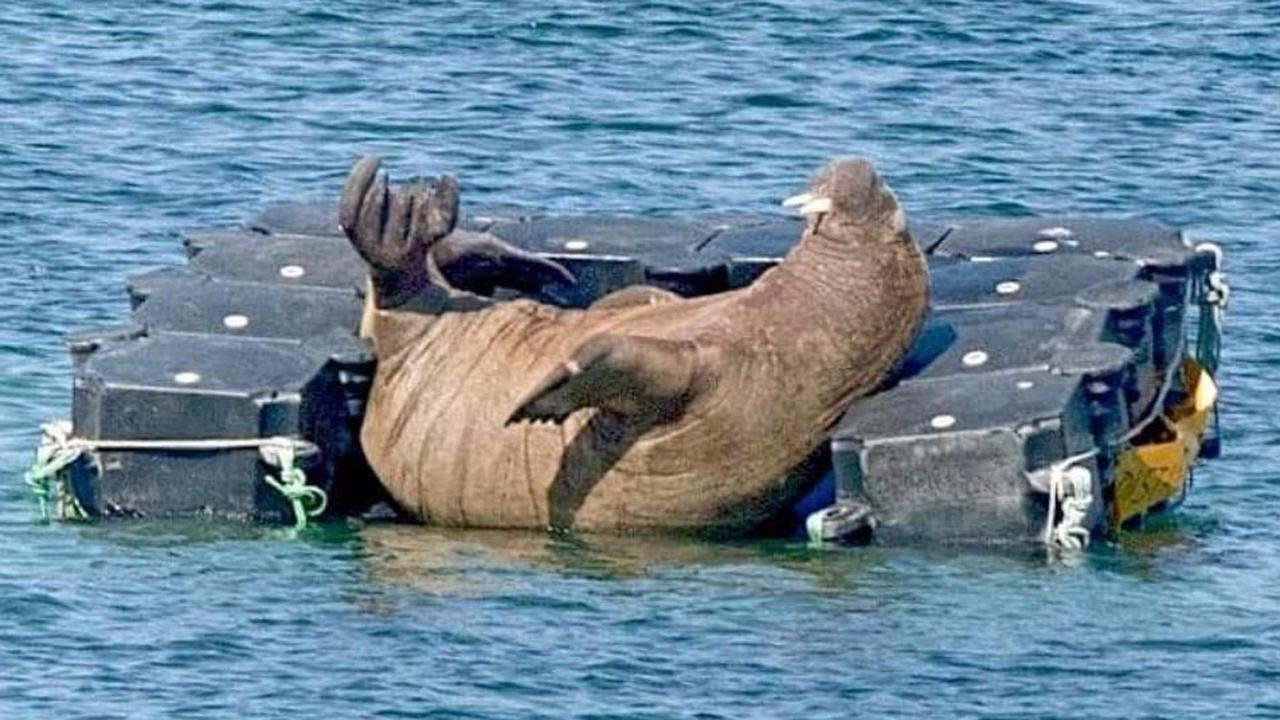 Wally the walrus has left the Isles of Scilly - Opera News