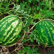 Garden Tips To Plant Melon