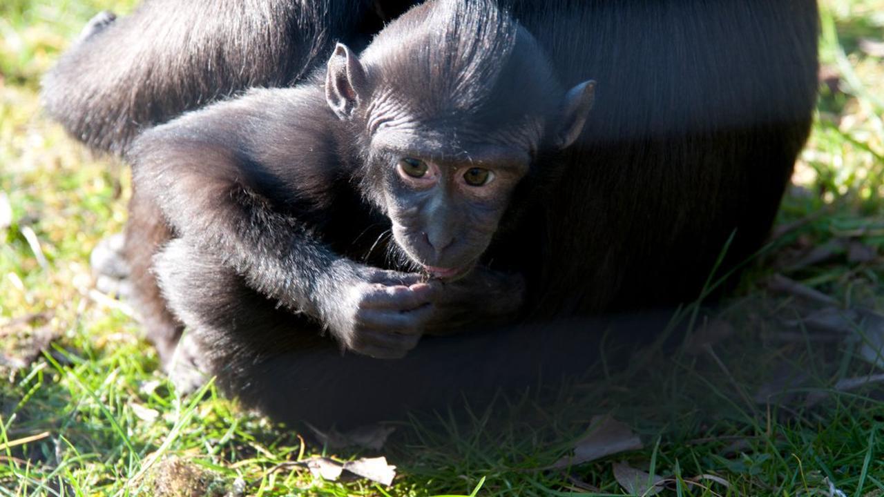 Primatennachwuchs im Kölner Zoo: So süß ist Bonobo-Baby Kijani!
