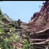 Kiambu Residents Worried by The Mysterious Fall of a Mugumo Tree