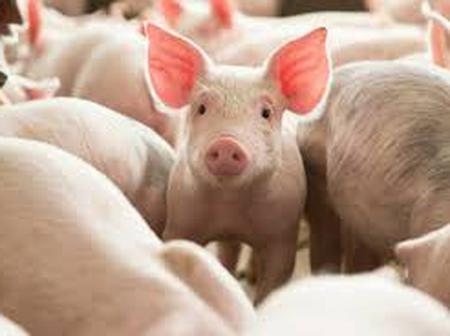 5 Diseases Or Sickness To Contract When Taking Pig meat