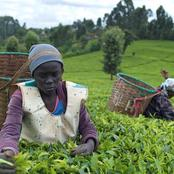 Relief To Tea Farmers As Senator Hints On Looming Reforms