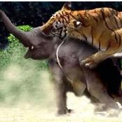 Tiger vs Elephant: Which of them will win in a fight?