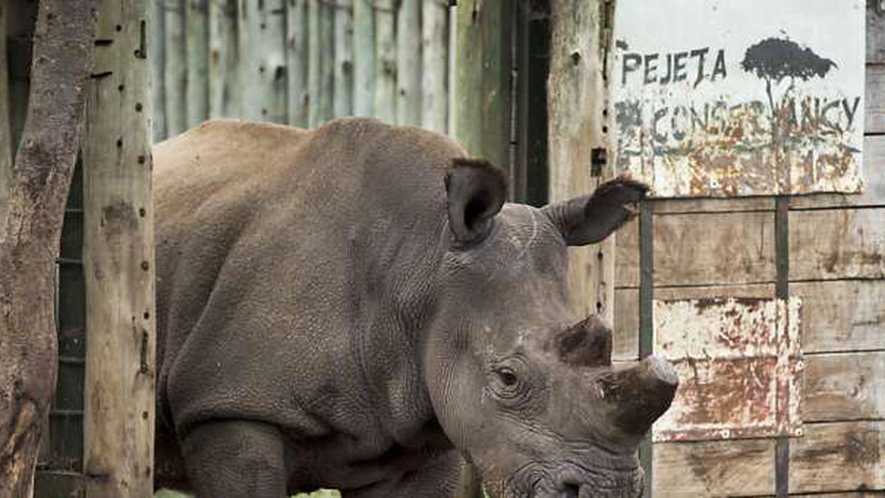 Erfolge bei der Rettung von seltener Nashorn-Unterart