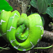 Pictures Of Five Snakes in Ghana that are not poisonous
