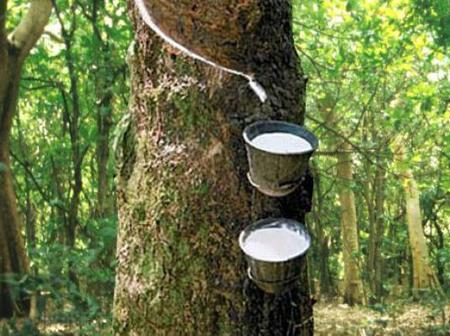 Authorities Must Act Fast As Cocoa Farmers threaten to Cut down Cocoa trees for Rubber plantation