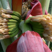 Ladies: use banana flower to solve womb and mensural pain problems, see how to use it.