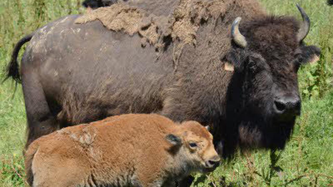 Visite d'un élevage de bisons Américains : Visite guidée à Damprichard