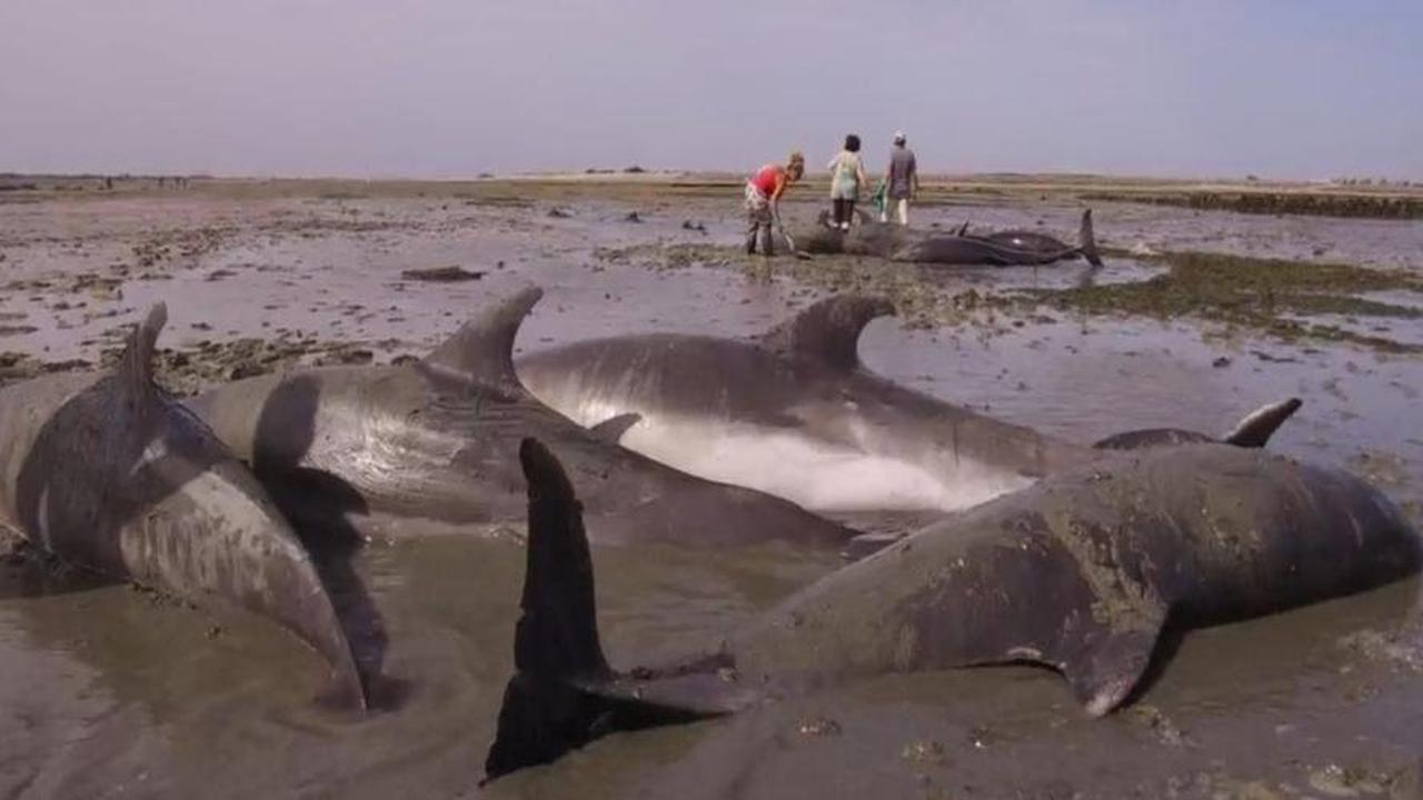 Île de Ré: le plus grand échouage de grands dauphins répertorié en France