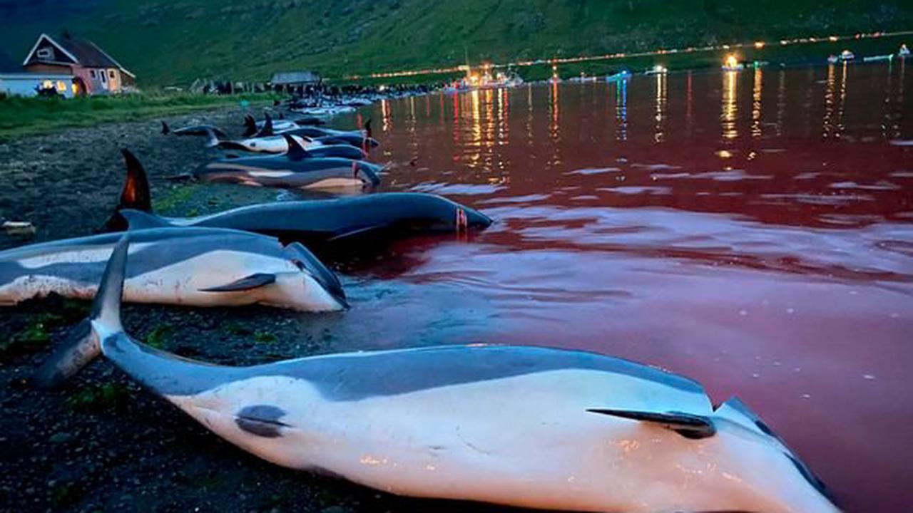 Les Féroé promettent de réévaluer la chasse aux dauphins après l'abattage de 1400 d'entre eux