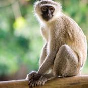Engrossing monkey facts