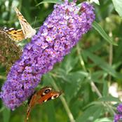 See Why You Should Start Growing This Butterfly Bushes Flower In Your Garden