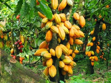 Finally: Here is the reason why Ghana will no longer Export Cocoa to Switzerland.