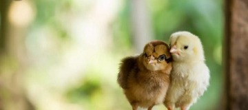 Poultry: How To Prevent Your Chicks From Dying