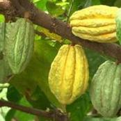 La Côte d'Ivoire fixe le prix minimum garanti à 1000 F CFA, le kilogramme aux planteurs