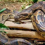 This Snake is a Cash crop if you kill it and sell it to a Sangoma, the Smallest starts at 1000 rand