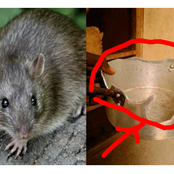 See What A Man Claimed Rats Did To His Pot