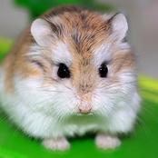 Animal Farming 101: Can I Breed Roborovski Dwarf Hamsters?