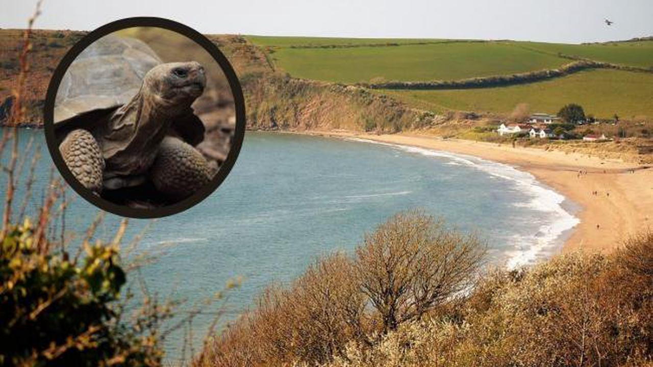 Lost tortoise returns home to Freshwater East