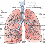 Lungs and pulmonary and respiratory system