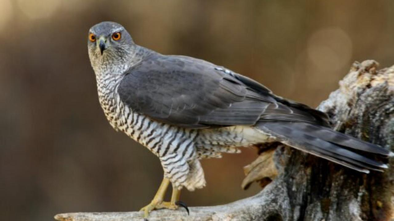 Police launch appeal after goshawk illegally shot dead in public woodland