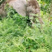 Sikensi : présence signalée d'un éléphant dans un campement de Sahuyé