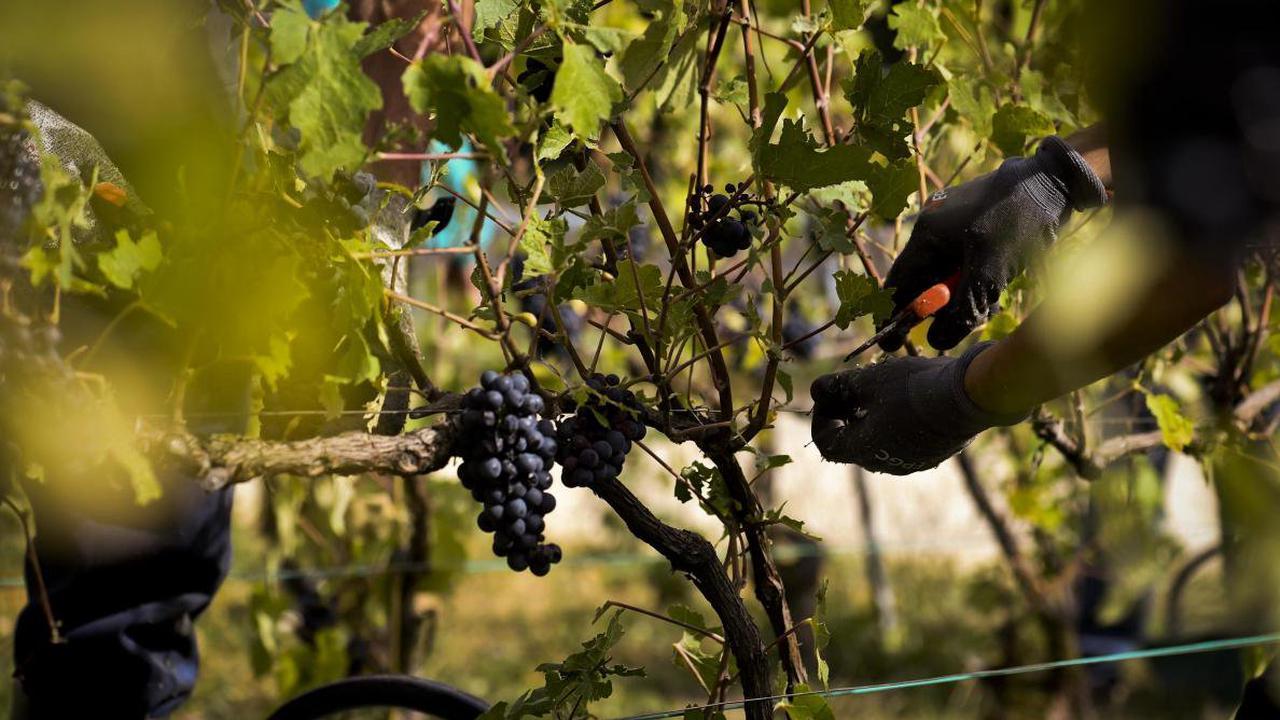 Vendanges en Champagne : un prestataire arrêté à Oiry, plusieurs centaines de saisonniers sans travail