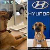 A Company Employs A Dog As Salesman, With ID Card, Desk And An Office During Lockdown