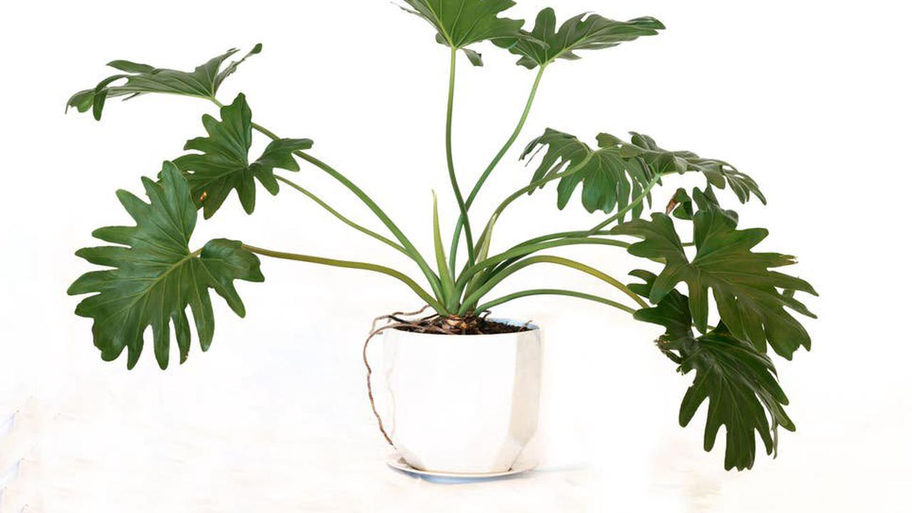 How to care for tree philodendrons, manspreaders of the plant world